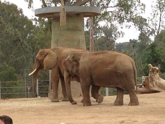 San Diego Zoo: Elephant - small ears Asian elephant  Big ears - African elephant