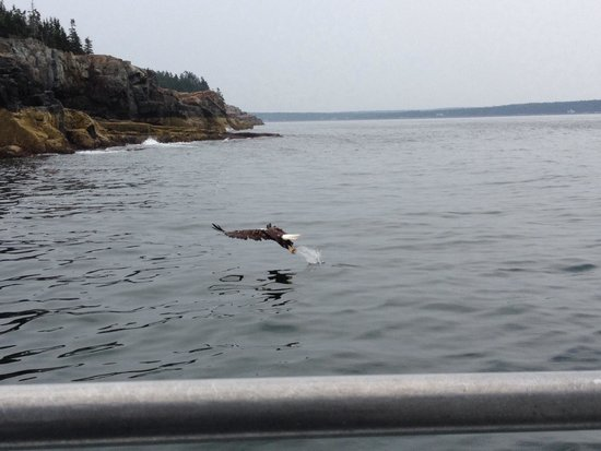 Islander Half-Day Fishing Trips: Bald eagle 10-15 yards off the boat snatching a fish. Incredible!