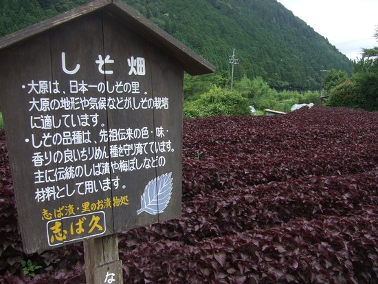 Oharano Sato: シソ畑の景観も見ものです。