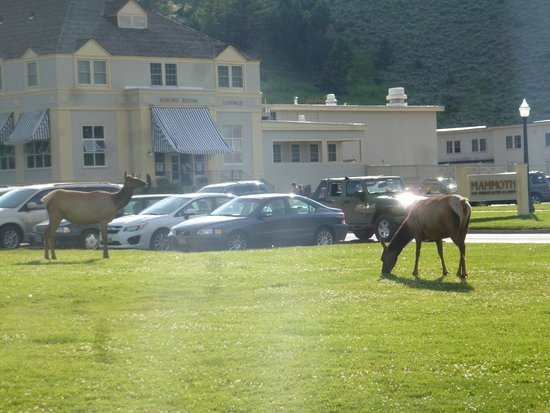 Mammoth Hot Springs Hotel & Cabins: Elk outside the lodge
