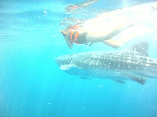 Island Adventures Mexico: swimming with whale sharks
