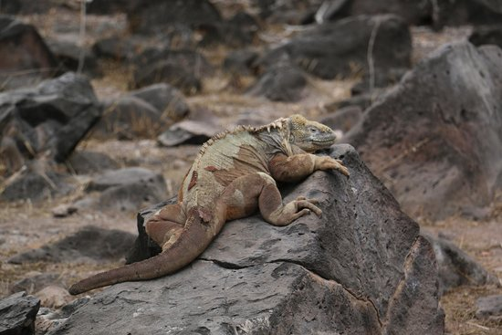 Finch Bay Galapagos Hotel: Lizard