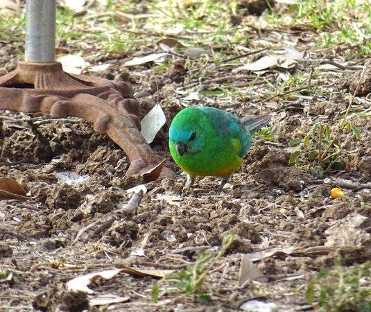 Opal Caravan Park: Bird Life