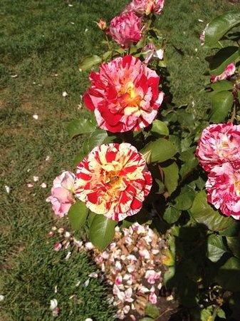 International Rose Test Garden: stunning blooms