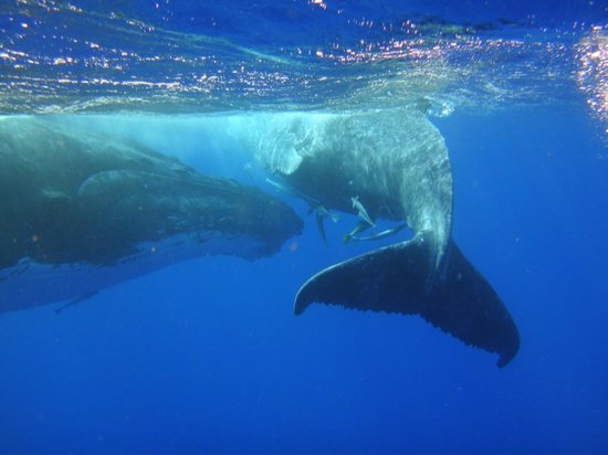 Whales in the Wild : Mother and Calf
