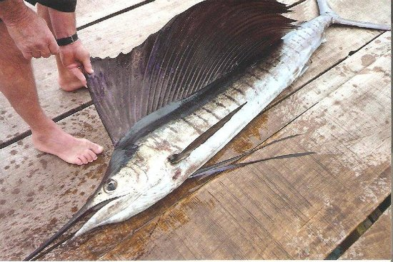 The Wilderness Lodge: sailfish