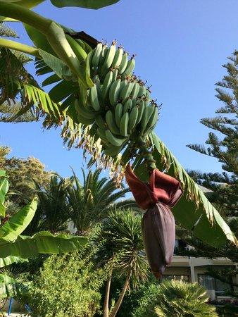 Hotel Rethymnon Mare : Bananenstaude