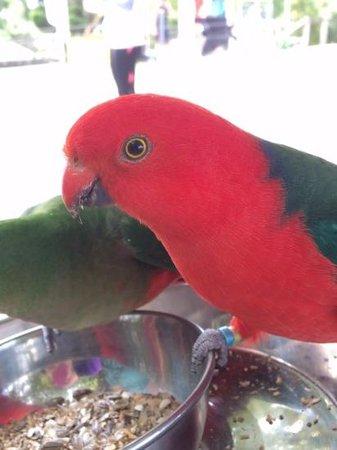 O'Reilly's Rainforest Retreat, Mountain Villas and Lost World Spa: bird feeding