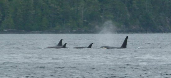 Discovery Expeditions Day Tours: Orca pod.