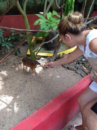 Langkawi Wildlife Park: Feeding mouse deer