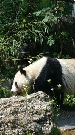 Tiergarten Schoenbrunn - Zoo Vienna: panda