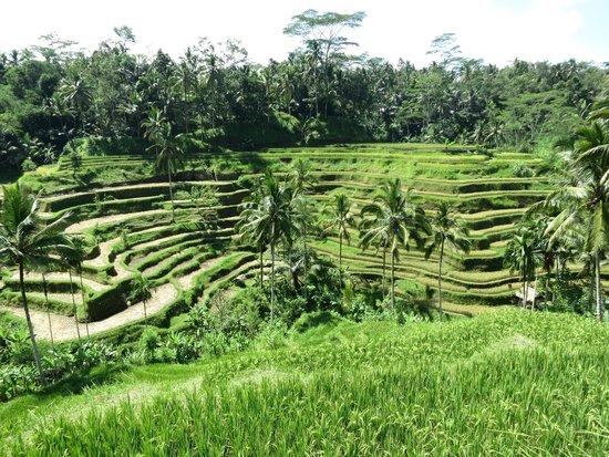 Tegalalang Rice Terrace: Вид на рисовые террасы