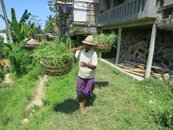Tegalalang Rice Terrace: Старичок-сборщик риса