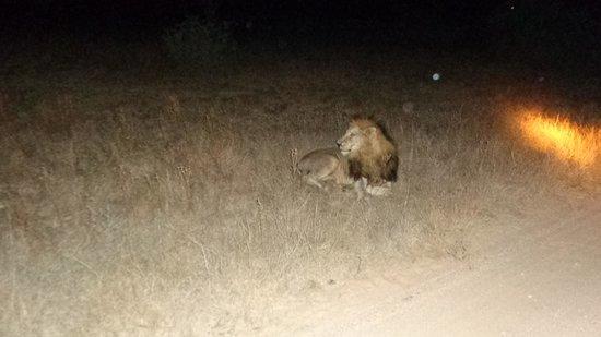 Orpen Rest Camp : Lion!!