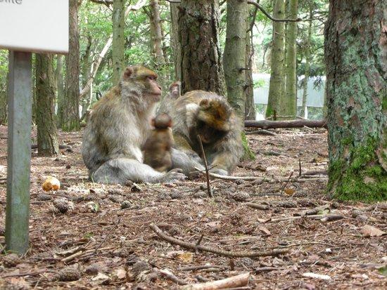 La Montagne des Singes : singes