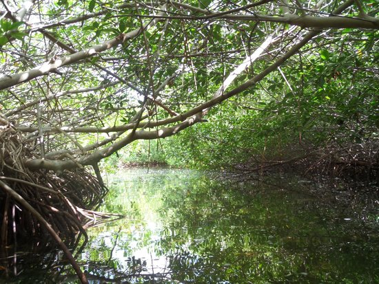 Glass Bottom Boat and Kayak Snorkel Tours: Mangrove