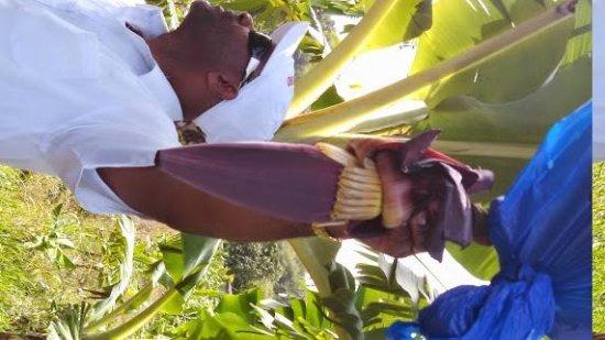 Cosol Tours: Yellow Bird explains bananas