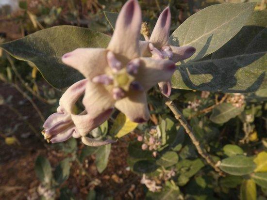 Wat Pho (Tempel des liegenden Buddha): cette fleur est destinéé aux mariées et à l'intérieur  le coeur de la fleur est une perle