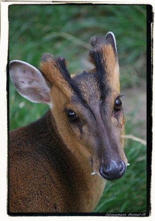 Zoo des Sables d'Olonne : Muntjac