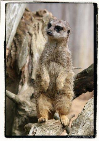 Zoo des Sables d'Olonne : Suricate