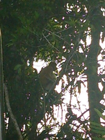 Borneo Proboscis River Lodge: Monkey in the trees