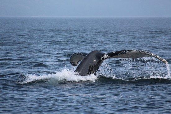 Croisieres AML : Une belle baleine blanche entrain de plonger