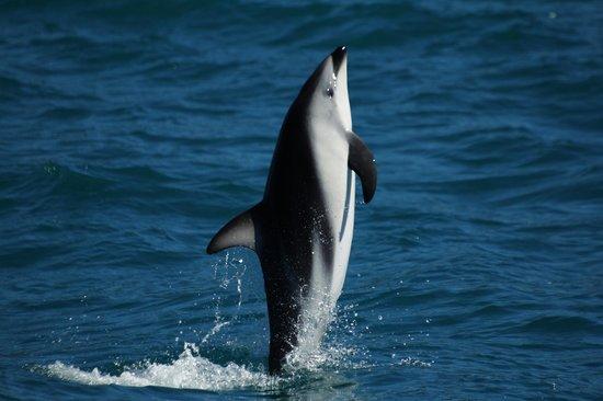 Dolphin Encounter: Dusky Dolphin
