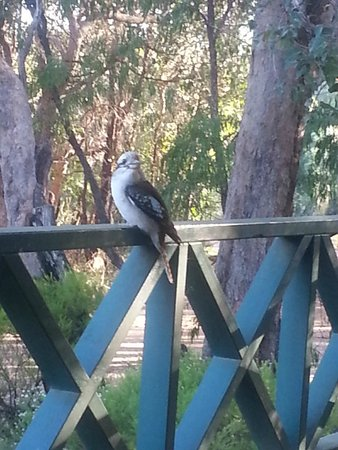 Gracetown Caravan Park Kookaburra on the front porch & Our friendly Kookaburra Sitting on the Fence Post right near my ...