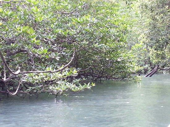 Kilim Karst Geoforest Park: Mangrove