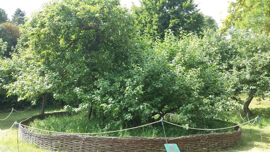 Woolsthorpe Manor: The legendary apple tree under which Isaac Newton sat...