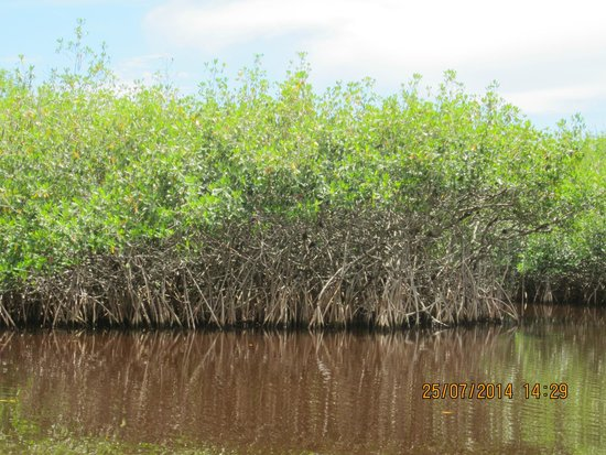 Jungle Erv's Everglades Airboat Tours : The mangroves