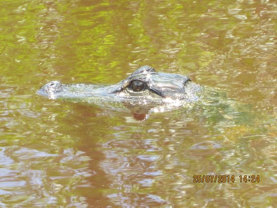 Jungle Erv's Everglades Airboat Tours : I'm keepin an eye on my next meal...you!