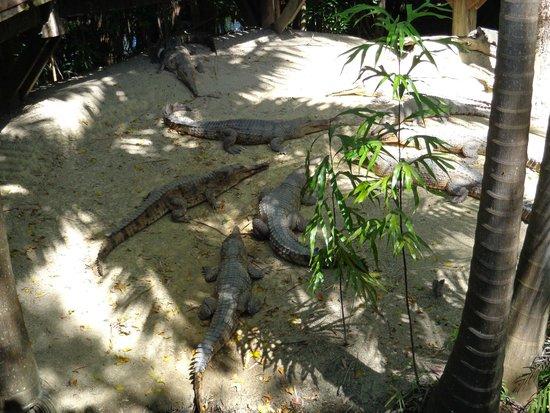 Wildlife Habitat Port Douglas: freshwater crocodiles ready for lunch!