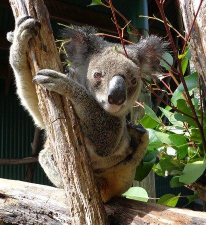 Wildlife Habitat Port Douglas: Cutie Koala!