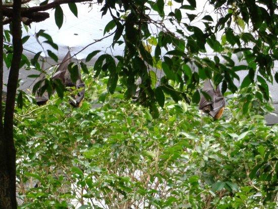 Wildlife Habitat Port Douglas: Roosting bats!