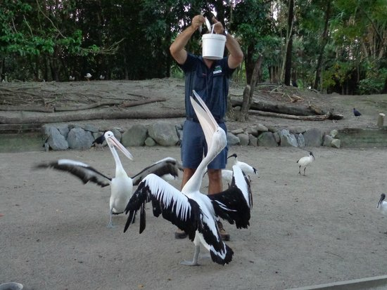 Wildlife Habitat Port Douglas: Feeding the pelicans at dusk on the night tour!