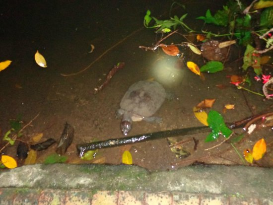 Wildlife Habitat Port Douglas: Turtle on the night tour!