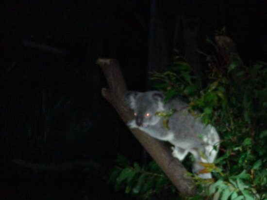 Wildlife Habitat Port Douglas: Watched by the Koalas on the night tour!