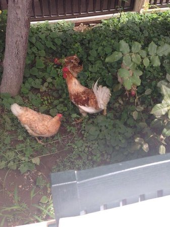 Binlik Hotel: Chickens by the pool