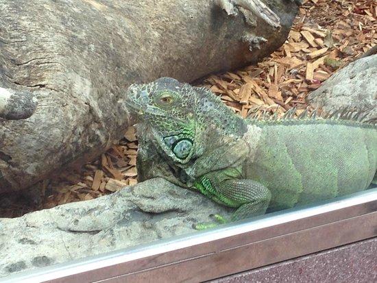 Loro Parque: iguanas