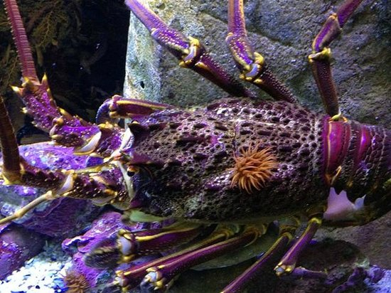 Two Oceans Aquarium: west coast rock lobster