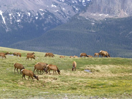 Trail Ridge Road : Herd of elk