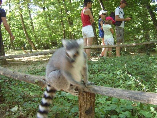 La Vallee des Singes : Lemur, blurred as he is so close