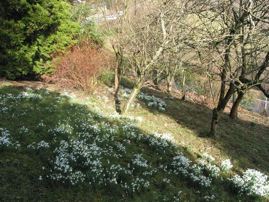 Felingwmuchaf, UK: Snowdrops in Winter