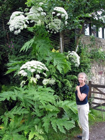 Felingwmuchaf, UK: Giant Hogweed!