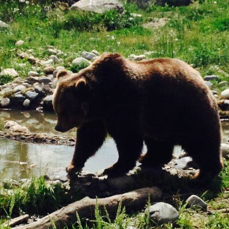 Montana Grizzly Encounter: Grizzly photo 2