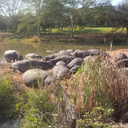 Sabi River Sun Resort: Hippos at Sabi River Sun