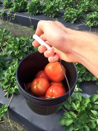 Bedner's Farm Fresh Market: Homegrown Fresh Tomatoes Just Picked
