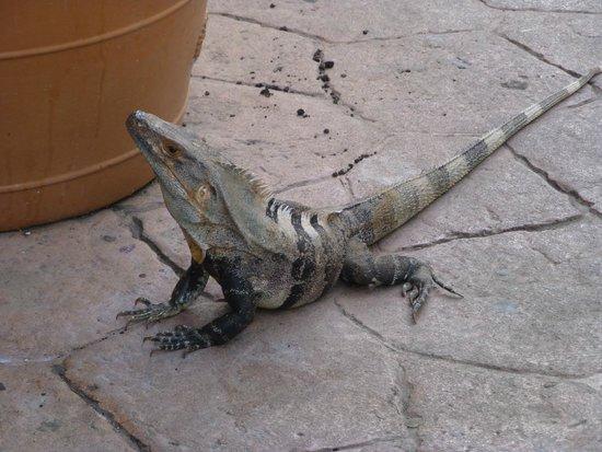 Allegro Papagayo : Iguana around pool