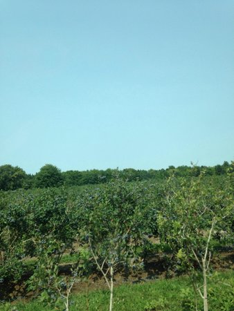 Krupka's Blueberry Plantation: Acres and acres of delicious blue berries! Fun, family friendly activity!